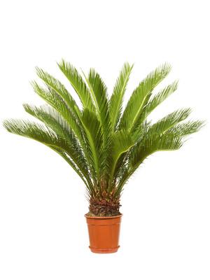 Cycas Come curare e coltivare le piante di Cycas