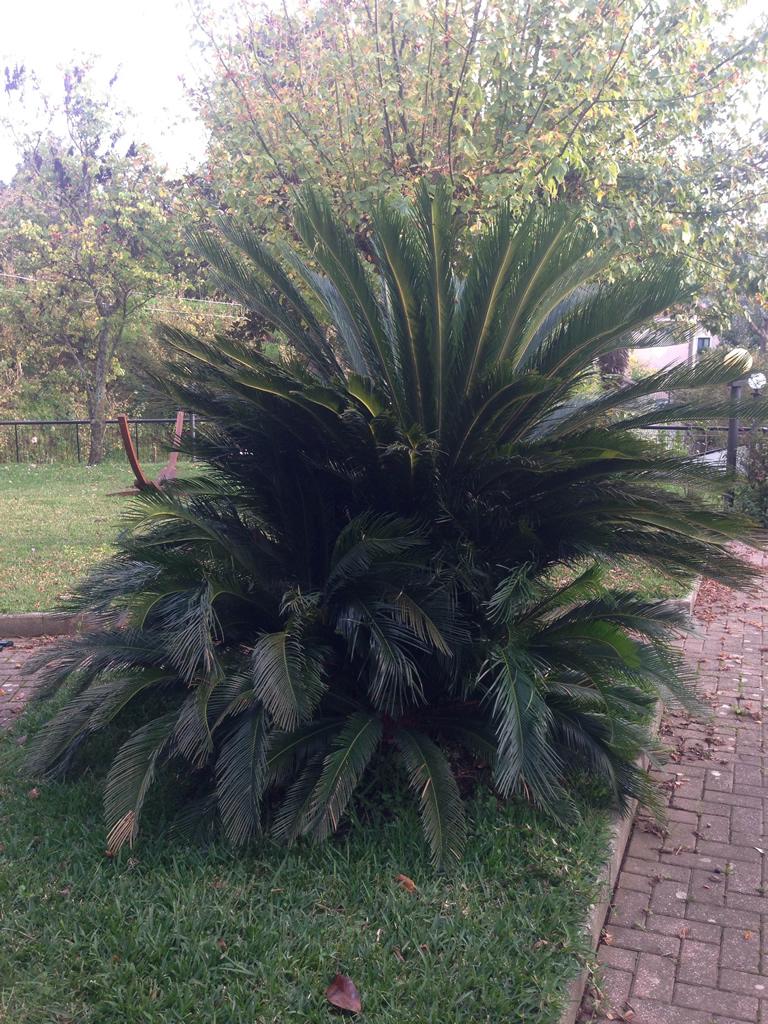 Cycas come curare e coltivare le piante di cycas for Pianta cycas