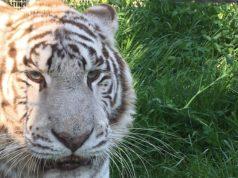 Tigre bianca, zoo di Napoli