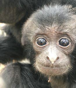 Zoo di Napoli, cucciolo di siamango